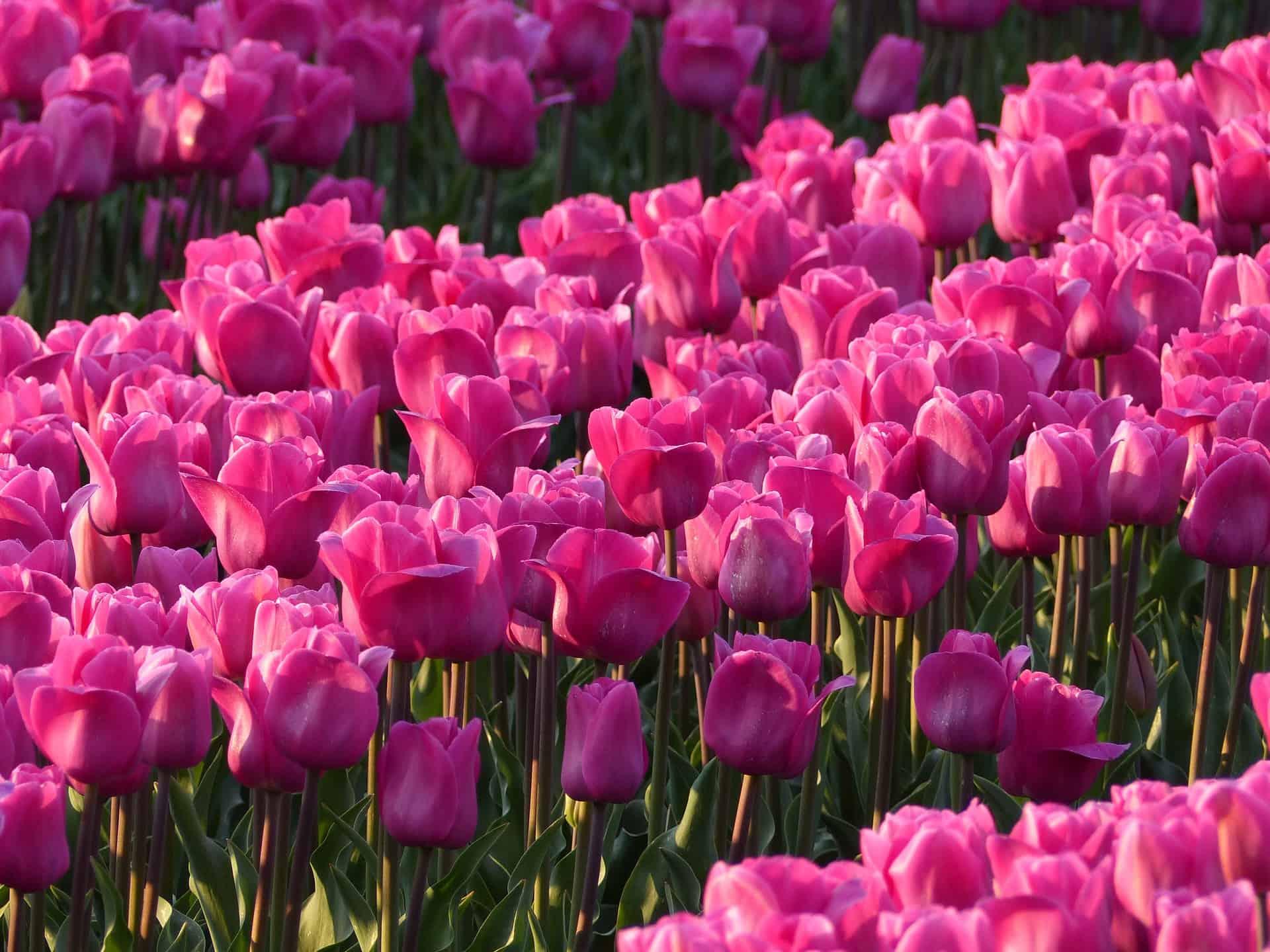 Historia de la llamada Región de los Tulipanes